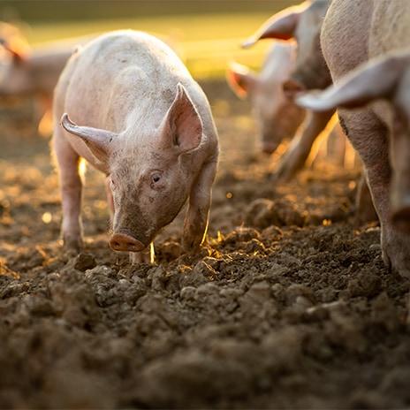 Traditionelles Bauernschwein