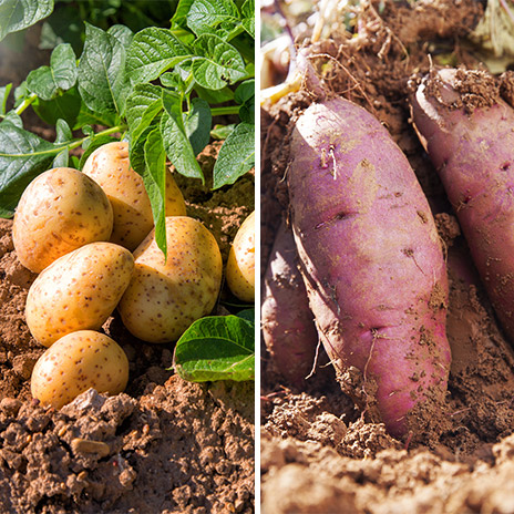Klassische Kartoffel vs. Süßkartoffel