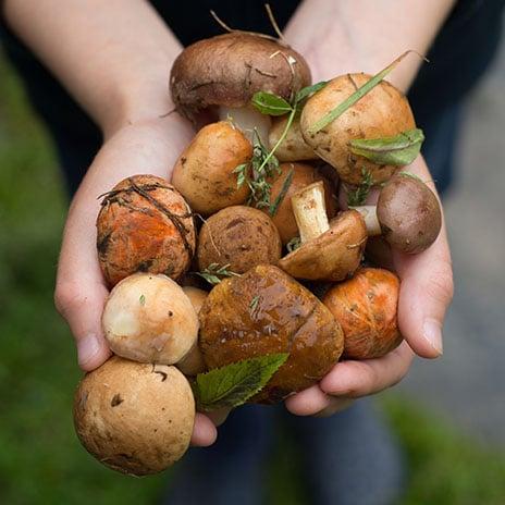 Pilze: Züchten oder sammeln?