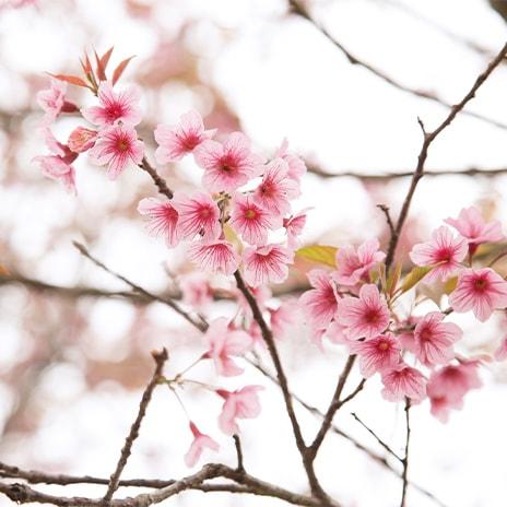 Kirschblüten als Symbol der Schönheit
