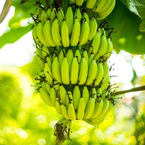 Geschichte der Banane
