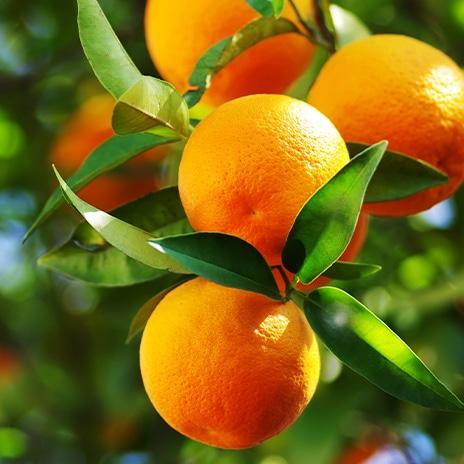 Warenkunde: Orangen