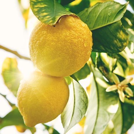 Die Reise der Zitronen