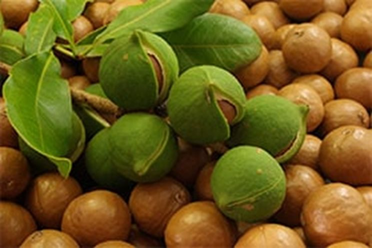 La noix macadamia