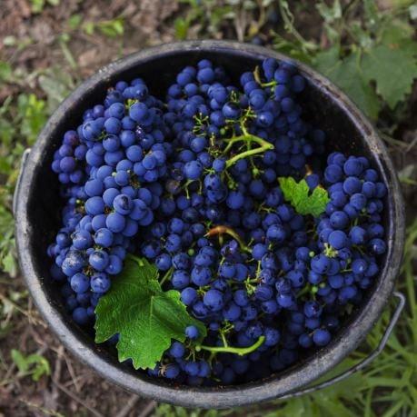 Struguri din Moldova in cos pentru vinuri rosii