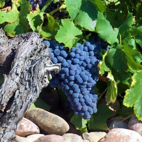 Struguri rosii din moldova pentru masa sau vinuri