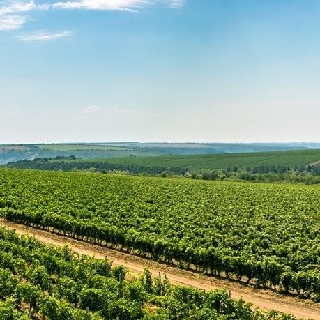 Podgorii cu struguri din moldova pentru vinuri moldovenesti