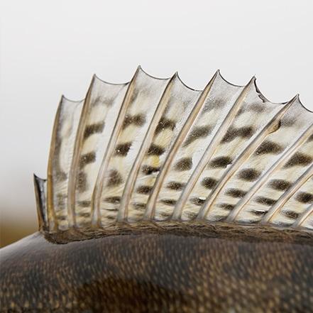 Peraja ribe